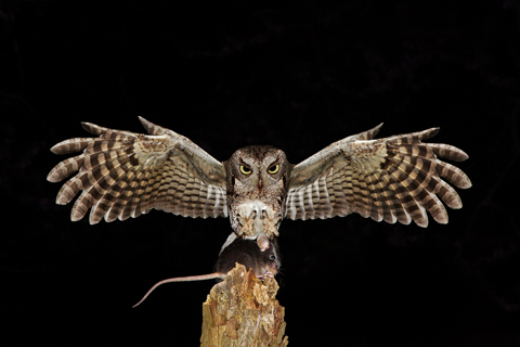 Grey phase Screech Owl capturing mouse in flight.